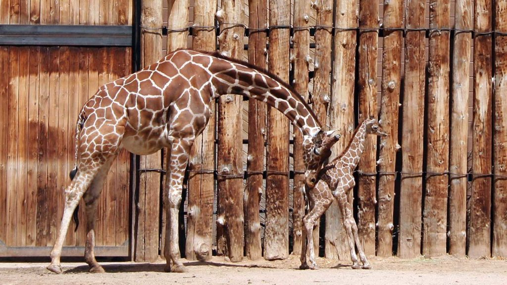 Giraff som knuffar sitt barn framför sig i en