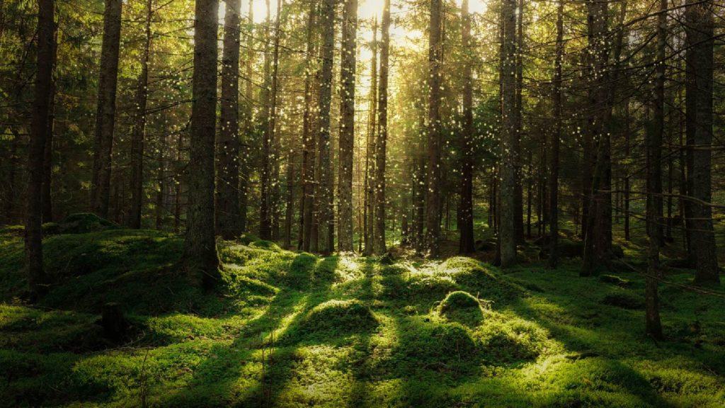 Foto av en skog med mossa och tallar.